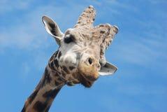 Giraff Arkivfoto