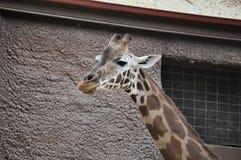 Giraff fotografering för bildbyråer