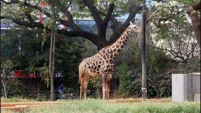 Giraff arkivfilmer