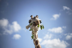 Giraff royaltyfri bild