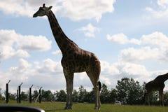 Giraff Στοκ Εικόνες