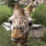 Giraff Royaltyfria Foton