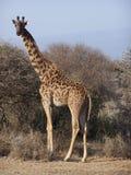 giraff Arkivbilder