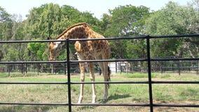 Giraff Imagens de Stock