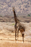Giraff in the African desert Royalty Free Stock Image