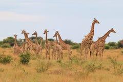 Giraff - afrikansk djurlivbakgrund - flock av färger och ställing arkivfoto