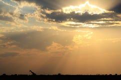 Giraff - afrikansk djurlivbakgrund - luffare för himmelljus Arkivbild