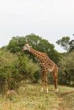 Giraff bland ett träd mara masai Arkivfoton