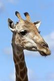 Giraff - Botswana royaltyfri fotografi