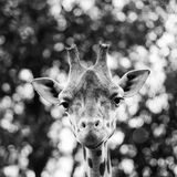 giraff close up portrait Stock Image