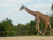 Giraff des Toronto-Zoos Lizenzfreies Stockbild