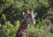 Giraff eller Giraffa, head belägen mitt emot kamera arkivbilder