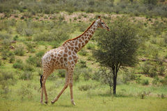 Giraff en el parque internacional de Kgalagadi Imagen de archivo libre de regalías