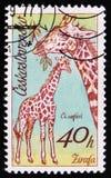 Giraff en serie av afrikanska djur i den Dvur Kralove zoo, circa 1976 Arkivfoto