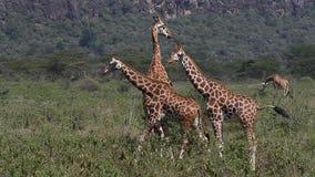 Giraff för Rothschild ` s, giraffacamelopardalisrothschildi, flock som går till och med savann, Nakuru Park i Kenya, lager videofilmer