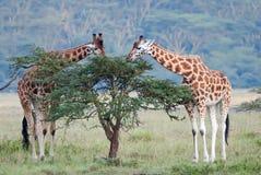 Giraff för två vuxen människa i den afrikanska savannahen arkivbild