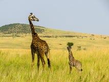 Giraff familj Fotografering för Bildbyråer