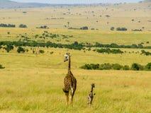 Giraff familj Arkivfoton