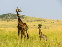 Giraff family Stock Image