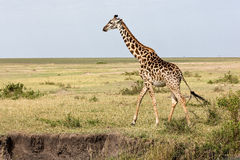 Giraff går i omslaget Arkivbild