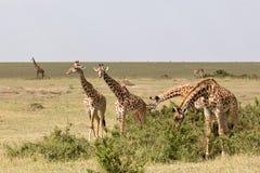 Giraff går i omslaget Royaltyfri Bild