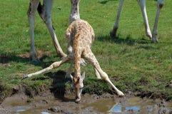 Giraff-Getränke Stockbild
