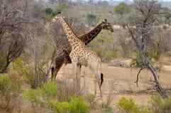 Giraff (Giraffacamelopardalis) Royaltyfri Foto