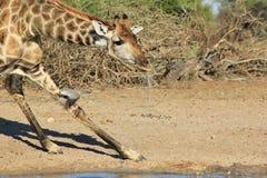Giraff - guld- svart ko och duva Fotografering för Bildbyråer