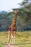 Giraff Hellångt kenya mara masai Arkivfoton