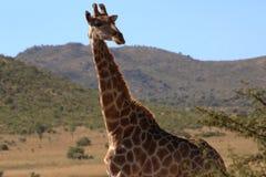 Giraff i öppna slättar arkivbild