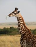 Giraff i Afrika Arkivbilder