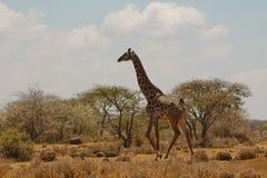 Giraff i Afrika Fotografering för Bildbyråer