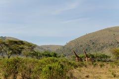 Giraff i afrikansk savana Fotografering för Bildbyråer