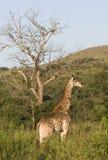 Giraff i aftonsunen, South Africa. Arkivfoton