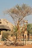 Giraff i Al Ain Zoo Royaltyfri Fotografi