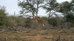 Giraff i busken Djurlivsafari i den Kruger nationalparken, ha som huvudämne loppdestinationen i Sydafrika arkivfilmer