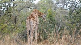 Giraff i busken Djurlivsafari i den Kruger nationalparken, ha som huvudämne loppdestinationen i Sydafrika lager videofilmer