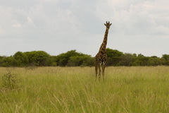 Giraff i busken på solnedgången mot himlen i Etosha PA Royaltyfria Bilder
