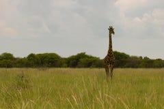 Giraff i busken på solnedgången mot himlen i Etosha PA Royaltyfri Foto