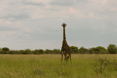 Giraff i busken på solnedgången mot himlen i Etosha PA Royaltyfri Fotografi