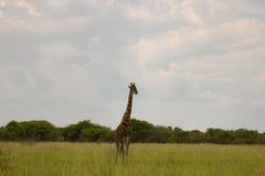 Giraff i busken på solnedgången mot himlen i Etosha PA Royaltyfri Bild