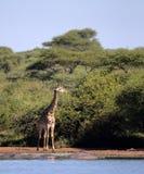 Giraff i den Kruger nationalparken Arkivfoton