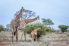 Giraff i den Kruger nationalparken, Sydafrika Arkivbilder