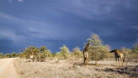Giraff i den Kruger nationalparken, Sydafrika Arkivbild
