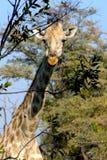 Giraff i den Okavango deltan, Botswana, Afrika Arkivfoto