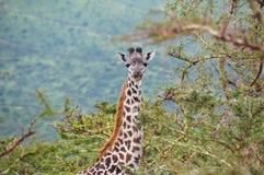 Giraff i den sjöManyara nationalparken, Tanzania, Afrika Arkivbilder