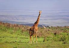 Giraff i den vidsträckta Ngorongoro reserven Arkivfoto