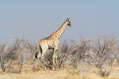 Giraff i det Acazia fältet Royaltyfria Bilder