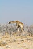 Giraff i det Acazia fältet Arkivbild