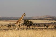 Giraff i det nordvästliga landskapet av Sydafrika Arkivfoton
